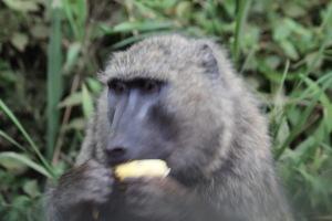 Baboon eating a banana